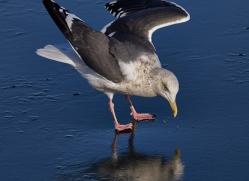gull-japan5755copyright-photographers-on-safari-com