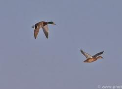mallard-ducks-japan5676copyright-photographers-on-safari-com