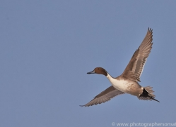 pintail-duck-japan5677copyright-photographers-on-safari-com