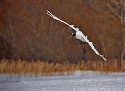 red-crowned-crane-japan5630copyright-photographers-on-safari-com