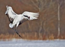 red-crowned-crane-japan5631copyright-photographers-on-safari-com