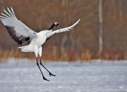 red-crowned-crane-japan5632copyright-photographers-on-safari-com
