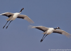 red-crowned-crane-japan5633copyright-photographers-on-safari-com
