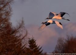 red-crowned-crane-japan5636copyright-photographers-on-safari-com