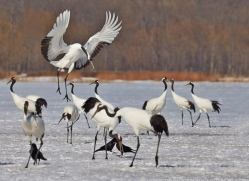 red-crowned-crane-japan5637copyright-photographers-on-safari-com