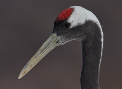 red-crowned-crane-japan5640copyright-photographers-on-safari-com