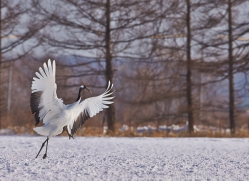 red-crowned-crane-japan5642copyright-photographers-on-safari-com
