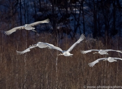 red-crowned-crane-japan5645copyright-photographers-on-safari-com