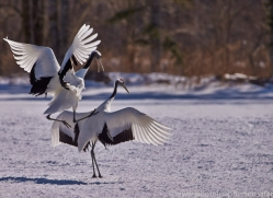 red-crowned-crane-japan5646copyright-photographers-on-safari-com