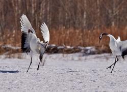 red-crowned-crane-japan5648copyright-photographers-on-safari-com