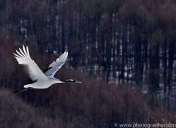 red-crowned-crane-japan5649copyright-photographers-on-safari-com