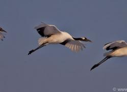 red-crowned-crane-japan5650copyright-photographers-on-safari-com
