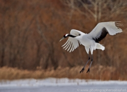 red-crowned-crane-japan5651copyright-photographers-on-safari-com