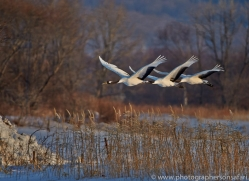 red-crowned-crane-japan5653copyright-photographers-on-safari-com