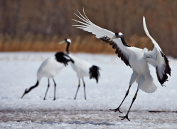 red-crowned-crane-japan5654copyright-photographers-on-safari-com