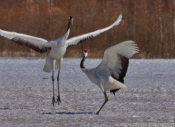 red-crowned-crane-japan5659copyright-photographers-on-safari-com