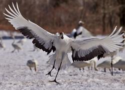 red-crowned-crane-japan5660copyright-photographers-on-safari-com