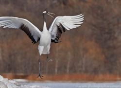red-crowned-crane-japan5663copyright-photographers-on-safari-com