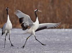 red-crowned-crane-japan5664copyright-photographers-on-safari-com