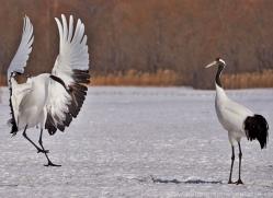 red-crowned-crane-japan5667copyright-photographers-on-safari-com