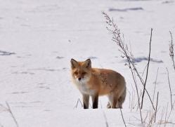 red-fox-japan5681copyright-photographers-on-safari-com