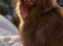 snow-monkey-japan5692copyright-photographers-on-safari-com