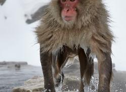 snow-monkey-japan5699copyright-photographers-on-safari-com