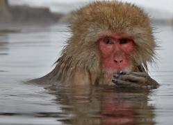 snow-monkey-japan5701copyright-photographers-on-safari-com