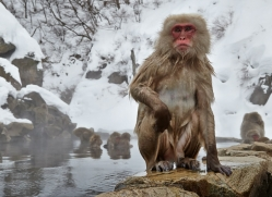 snow-monkey-japan5703copyright-photographers-on-safari-com
