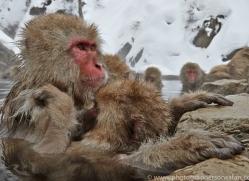 snow-monkey-japan5706copyright-photographers-on-safari-com