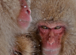 snow-monkey-japan5707copyright-photographers-on-safari-com