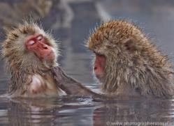 snow-monkey-japan5708copyright-photographers-on-safari-com