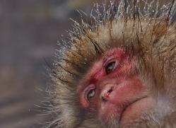 snow-monkey-japan5712copyright-photographers-on-safari-com