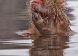 snow-monkey-japan5713copyright-photographers-on-safari-com
