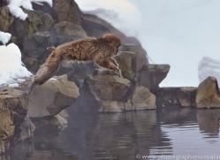snow-monkey-japan5714copyright-photographers-on-safari-com