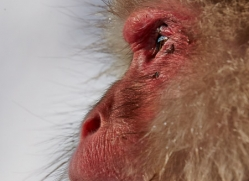 snow-monkey-japan5717copyright-photographers-on-safari-com