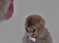 snow-monkey-japan5721copyright-photographers-on-safari-com