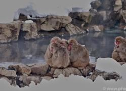 snow-monkey-japan5722copyright-photographers-on-safari-com