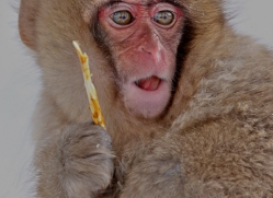 snow-monkey-japan5724copyright-photographers-on-safari-com