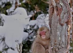snow-monkey-japan5727copyright-photographers-on-safari-com