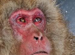 snow-monkey-japan5729copyright-photographers-on-safari-com