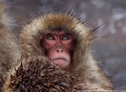 snow-monkey-japan5731copyright-photographers-on-safari-com