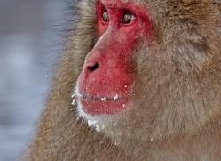 snow-monkey-japan5735copyright-photographers-on-safari-com