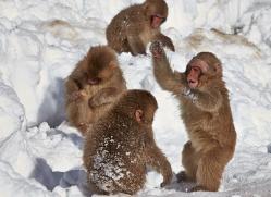 snow-monkey-japan5737copyright-photographers-on-safari-com