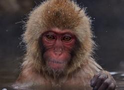 snow-monkey-japan5743copyright-photographers-on-safari-com