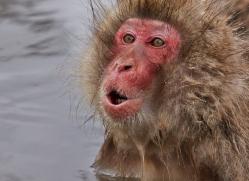 snow-monkey-japan5744copyright-photographers-on-safari-com