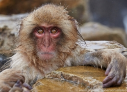 snow-monkey-japan5745copyright-photographers-on-safari-com