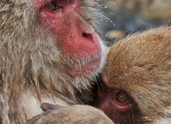snow-monkey-japan5747copyright-photographers-on-safari-com