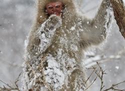 snow-monkey-japan5748copyright-photographers-on-safari-com