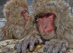 snow-monkey-japan5753copyright-photographers-on-safari-com